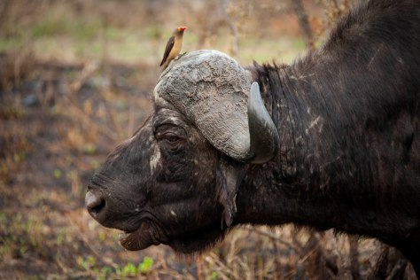 Water Buffalo and Oxpecker