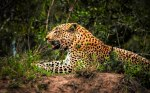 Leopard Resting