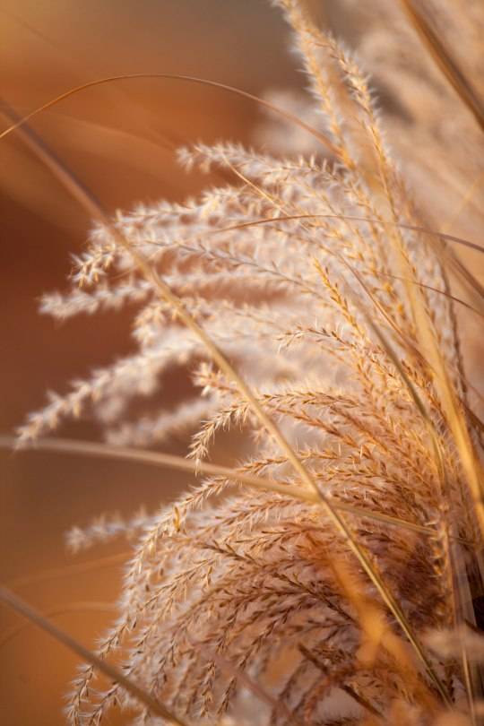 Crested Wheat Grass