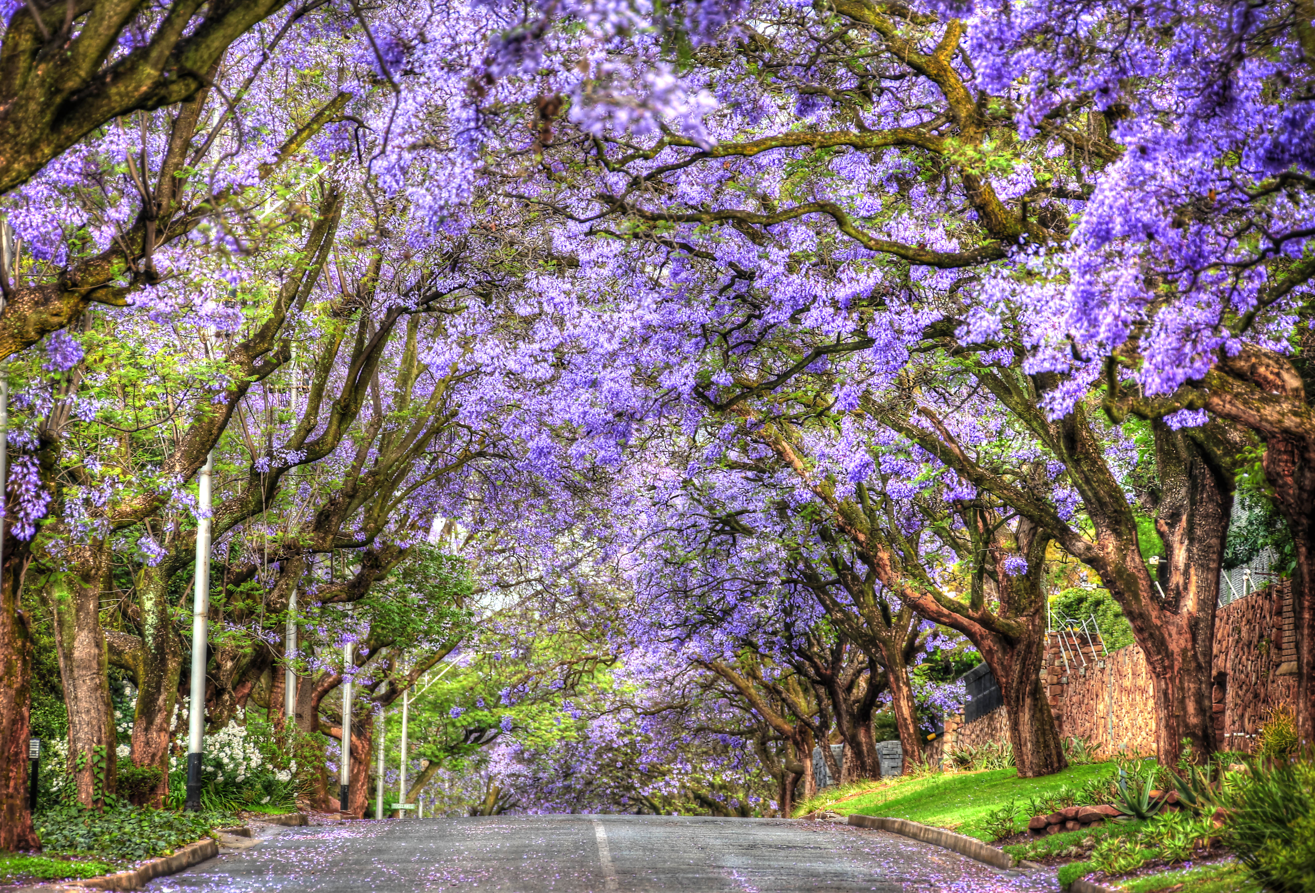 Blooming Jacarandas | They're Calling To Me
