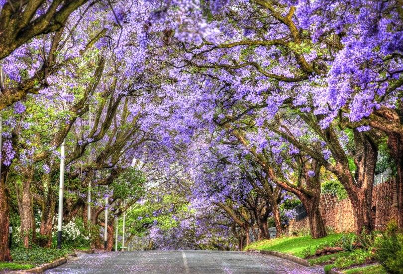 Jacaranda Trees in Bloom