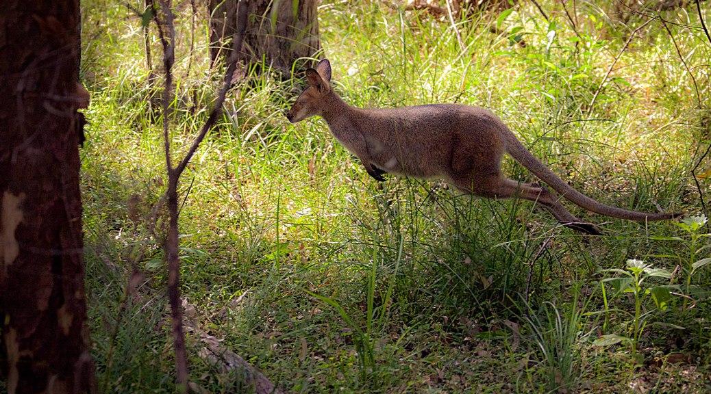 Kangaroo Run