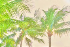 Brazilian Palm trees.