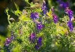 _MGL6471_Wildflowers