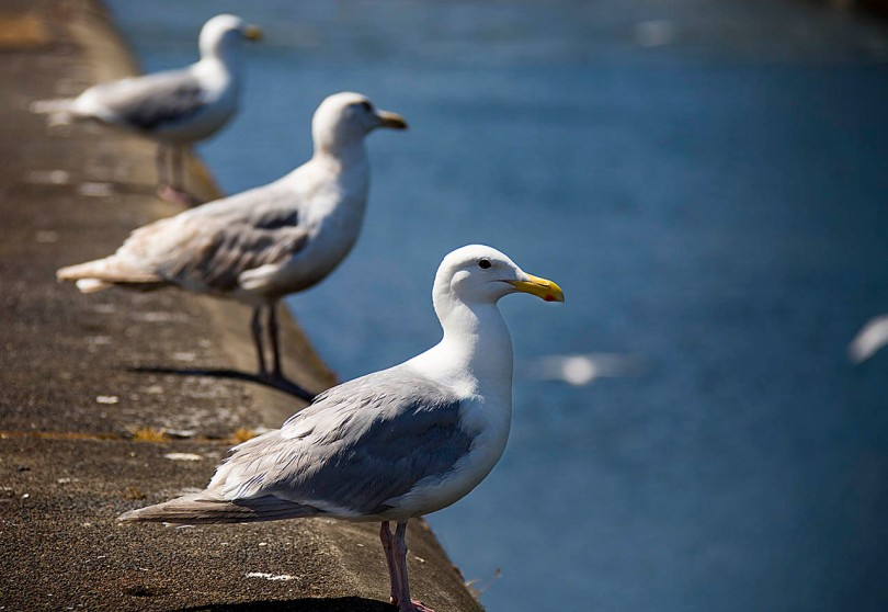 Seagull guards
