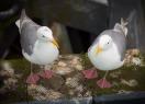 Seagull Couple