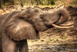 IMG_0711_2_3_Elephant Drinking_web
