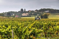 Harvesters have modernized the grape harvest.