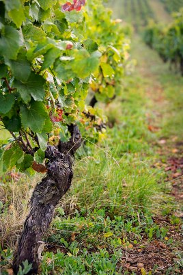 Grape vines nearly two-hundred years old still produce abundantly.