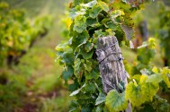 Wooden stakes help to hold up the vines as the fruit gets heavy.