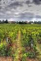Autumn vines wait for harvest.