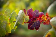 Grape vine leaves begin to change colors at the end of the season.