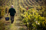 The vineyard master will walk the vineyard to judge the harvest.