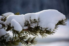 Snow covered pine bough.