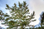 Pine trees, pine cones and pine nuts
