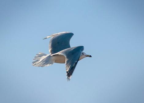 DSC_0020_Seagull in Flight_web