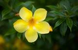 Samoan wildflower
