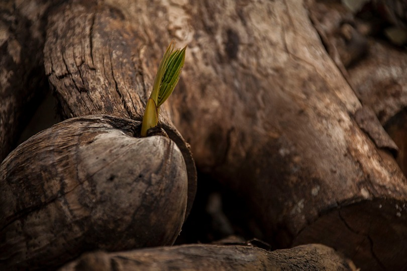 Sprouting Coconut.