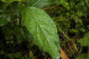 Raindrops on leaf.