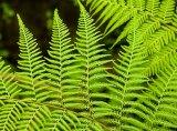 Green Samoan ferns.