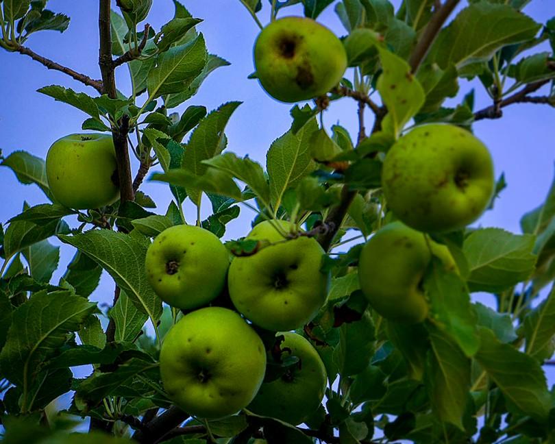 Capitol Reef Green Apples