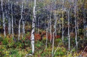 Aspen grove, Mt. Timpanogos.