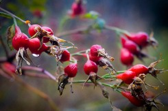 Bear food berries.
