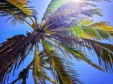 Palm Tree, Aruba