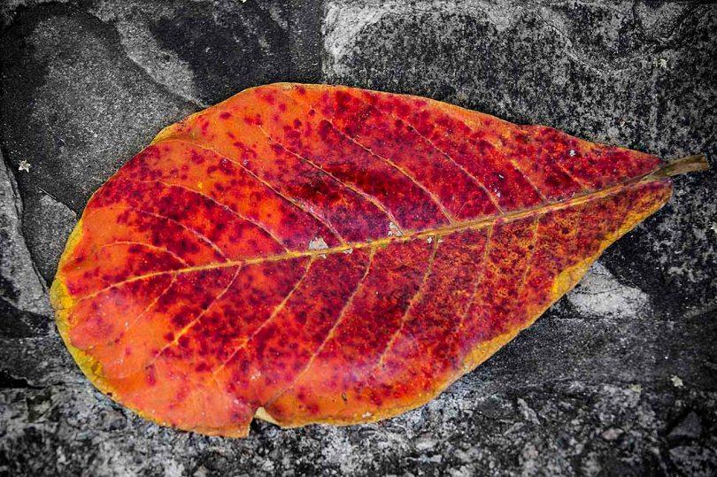 Bright Red Leaf.