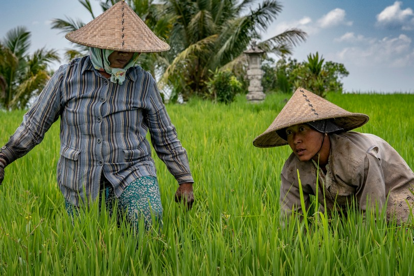 Women rice paddy workers